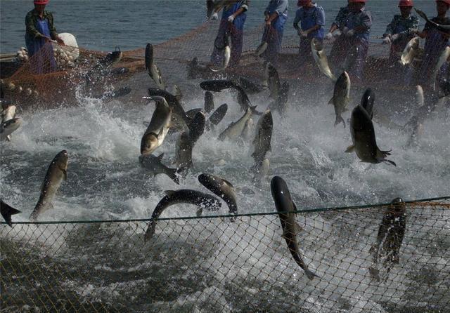 模式养鱼新视频亩产量超乎你跃跃养殖户想象搞笑诗农村对图片