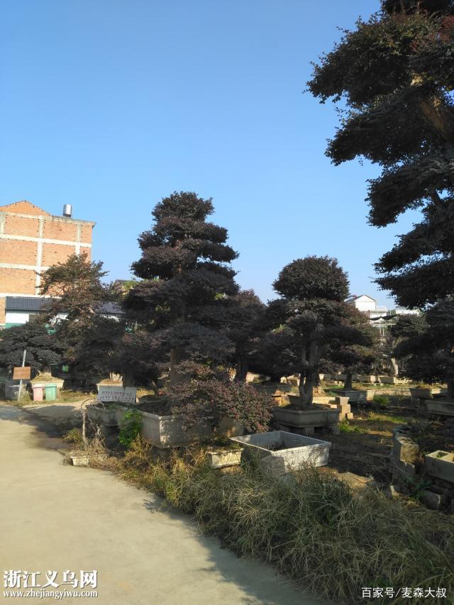 这个盆景是什么园林景观树?