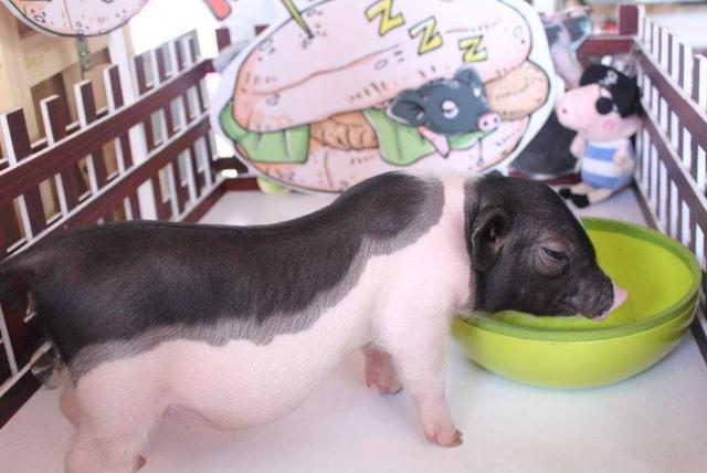 网上买了一只宠物猪,几个月后,家中的二哈都看不下去了!