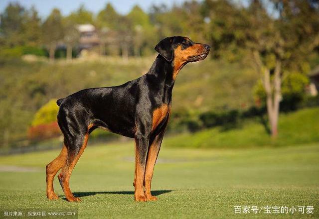 全球最聪明的十种狗-玩意儿