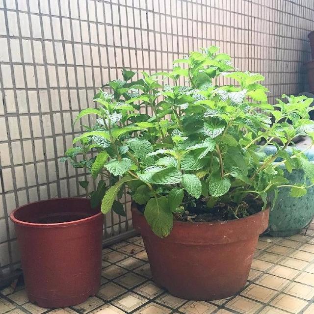 驱赶蚊虫最有效的花草  夏季养殖什么植物能驱虫