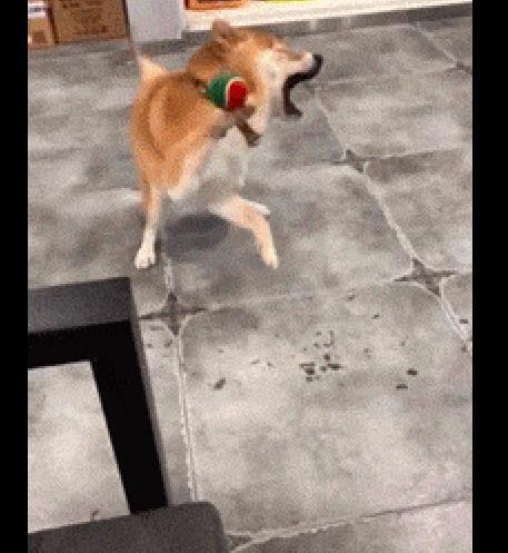 结果柴犬玩抛球摔倒,人和刚扔它就嗷嗷吃饭了表情包游戏爸爸的图片